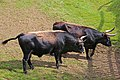 00 2977 Nationalpark Bayerischer Wald - Urrinder.jpg