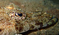 082810 Crocodilefish.jpg