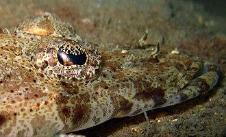 De Beaufort's flathead -  Close shot of head and eye lappet of Crocodilefish.