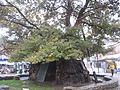 1100 Jahre alte Platane in Ohrid, Makedonien.JPG