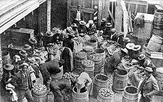 1893 Sea Islands hurricane - Workers sort seed potatoes that will be used to restore inundated fields following the Sea Islands, South Carolina Hurricane, which struck on August 27, 1893.