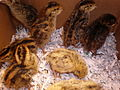 1 week old Japanese quail chicks 02.JPG