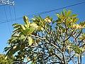 2002Plumeria acuminata 05.jpg