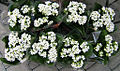 2007-03-20Kalanchoe blossfeldiana16.jpg