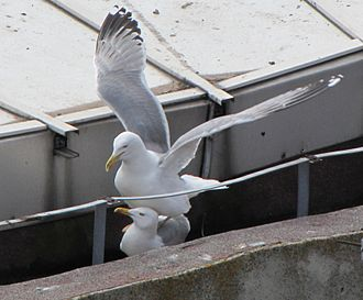 Yellow-legged gull - Mating on roof-top, Constanta, Romania