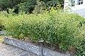 2010 07 17040 5786 Beinan Township, Taiwan, Jhihben National Forest Recreation Area, Medicinal botanical gardens, Botanical gardens, Lantana camara.JPG