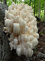 2011-09-03 Hericium coralloides 167225 cropped.jpg