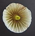 2011-12-03 Mycena epipterygia (Scop.) Gray 187428.jpg