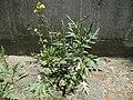 20120628Diplotaxis tenuifolia1.jpg