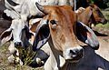 201312181259b (Hartmann Linge) Sukhothai cattle.jpg
