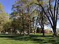 2014-05-02 13 59 14 Siberian Elm grove in the Elko City Park.JPG