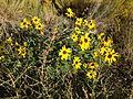 2014-09-08 08 43 07 Sunflowers along Interstate 80 near milepost 275 in Eureka County, Nevada.JPG