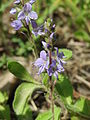 20140513Veronica officinalis.jpg