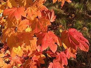 Acer circinatum - Autumn foliage of Acer circinatum
