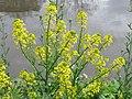 20150504Barbarea vulgaris3.jpg