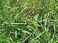 2018-05-13 (182) Female Lycaena tityrus (Sooty Copper) at Bichlhäusl in Frankenfels, Austria.jpg