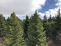 2019-10-27 11 56 55 View east across a Red Spruce forest from the observation tower on Spruce Knob in Pendleton County, West Virginia.jpg