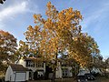 2019-11-13 16 17 24 An American Sycamore in late autumn along Tranquility Court in the Franklin Farm section of Oak Hill, Fairfax County, Virginia.jpg