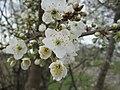 20190312 Prunus cerasifera 5.jpg