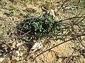 20190321 Thymus serpyllum 2.jpg