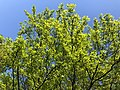 2020-05-10 18 39 10 View up into the canopy of a Pin Oak leafing out in spring along Glen Taylor Lane in the Chantilly Highlands section of Oak Hill, Fairfax County, Virginia.jpg