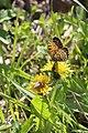 2020-05 Lödderitzer Forst (09) Schmetterling.jpg