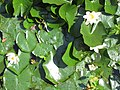 2020-06-19 — de waterlelies (2014) door herman de vries – monument voor Fechner, Diepenheim - 8.jpg