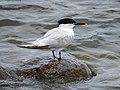 2020-07-18 Thalasseus sandvicensis, St Marys Island, Northumberland 01.jpg