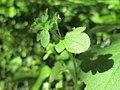 20200422Veronica hederifolia2.jpg