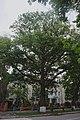 68-104-5001 Дуб скельний Кам'янець-Подільський.jpg