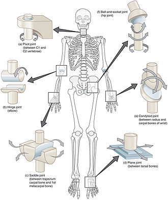 Synovial joint - Types of synovial joints.