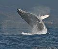 984-Baleines St Gilles le 250911 HD11 copyright.jpg