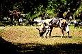 AFRICAN WILD DOG (14029940126).jpg