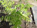A Curry leaf plant.JPG