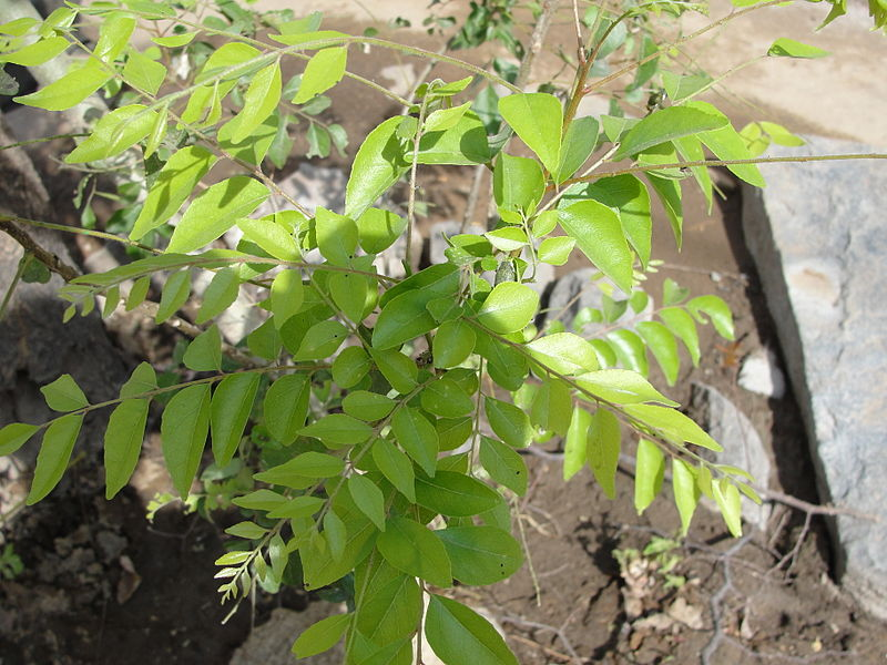 படிமம்:A Curry leaf plant.JPG