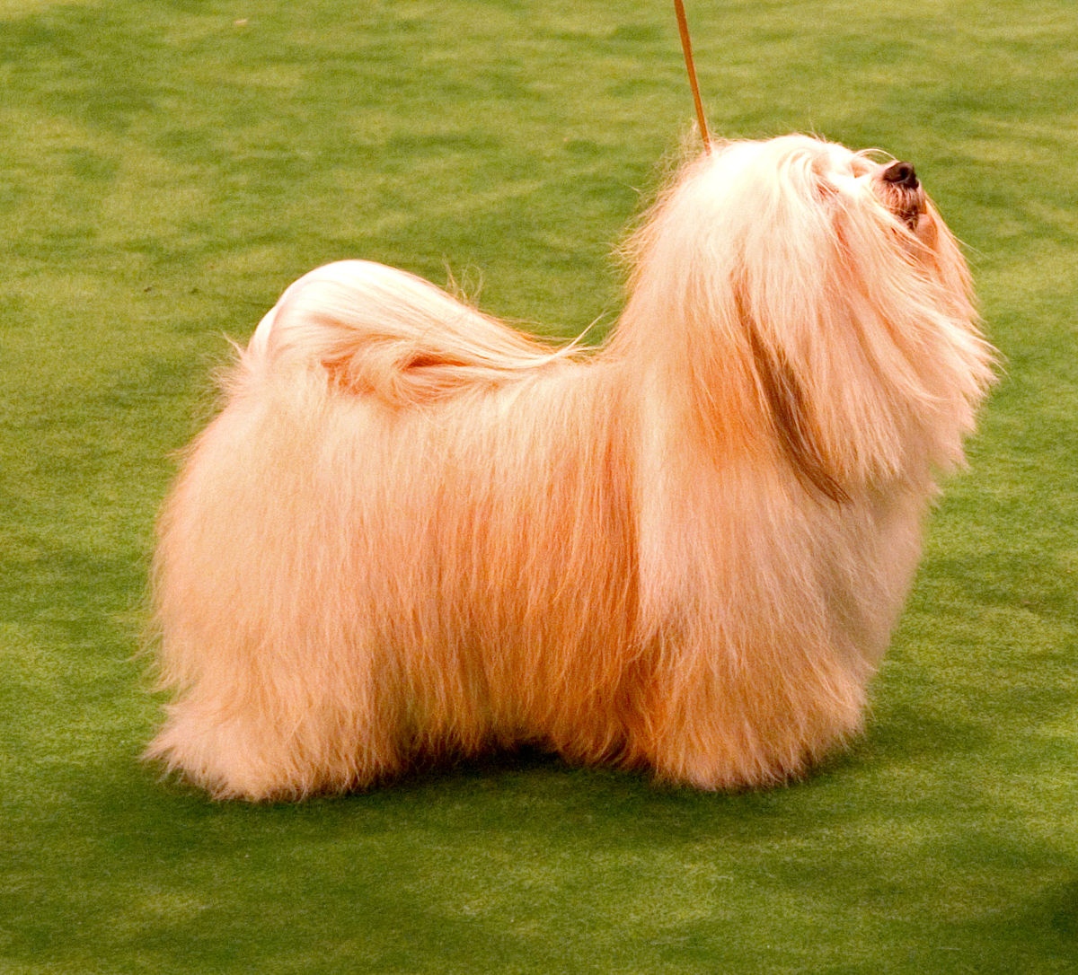 Havanese Dog Wikipedia