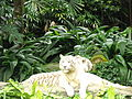 A Tiger in Singapore Zoo.JPG