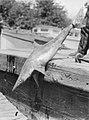 A caught shark (AM 75651-1).jpg