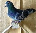 A homing pigeon.jpg