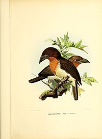 A monograph of the Capitonidæ, or scansorial barbets (Pl. (LXXI)) BHL47772939.jpg