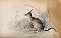 A perameles (small marsupial of the family peramelidae) sitt Wellcome V0020773.jpg