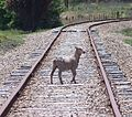 A sheep on a railway track.jpg