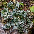 A short day trip to the near alpine (2200m) area of Mt Baldy E of Little Fort, BC...here be a large assortment of things fungii and smaller??...anyone know what this is.???... (28757899296).jpg