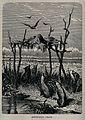 A traditional Australian burial with birds and dingos Wellcome V0050675.jpg