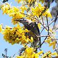 A wattle bird on a tree.jpg