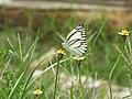 A white butterfly.jpg