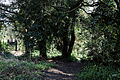 Abbess Roding - woodland path - Essex England 1.jpg