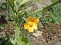 Abutilon theophrasti 2010-08-08 Beechview-01a.jpg