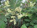 Acacia mearnsii - black wattle at Mannavan Shola, Anamudi Shola National Park, Kerala (1).jpg