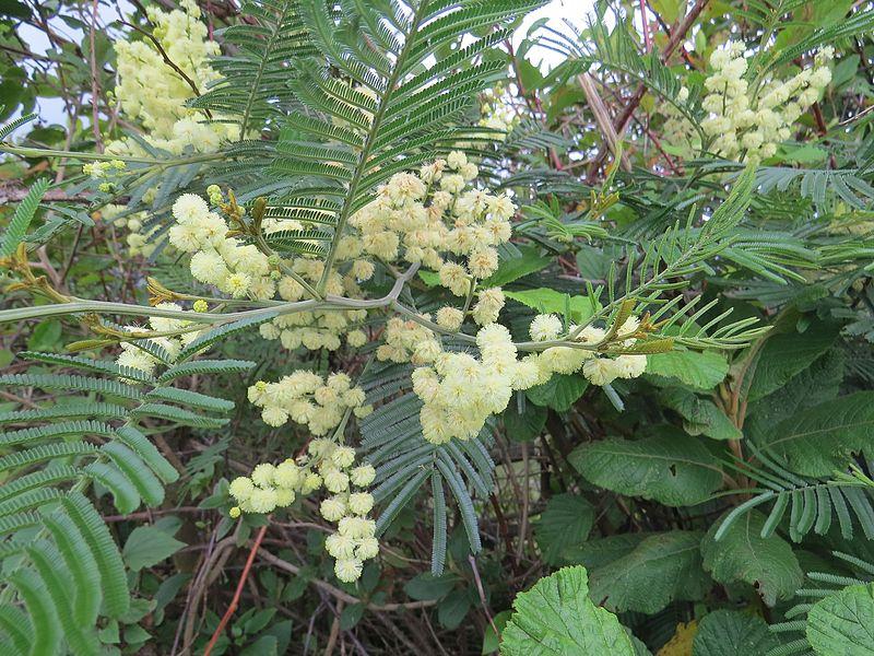File:Acacia mearnsii - black wattle at Mannavan Shola, Anamudi Shola National Park, Kerala (1).jpg